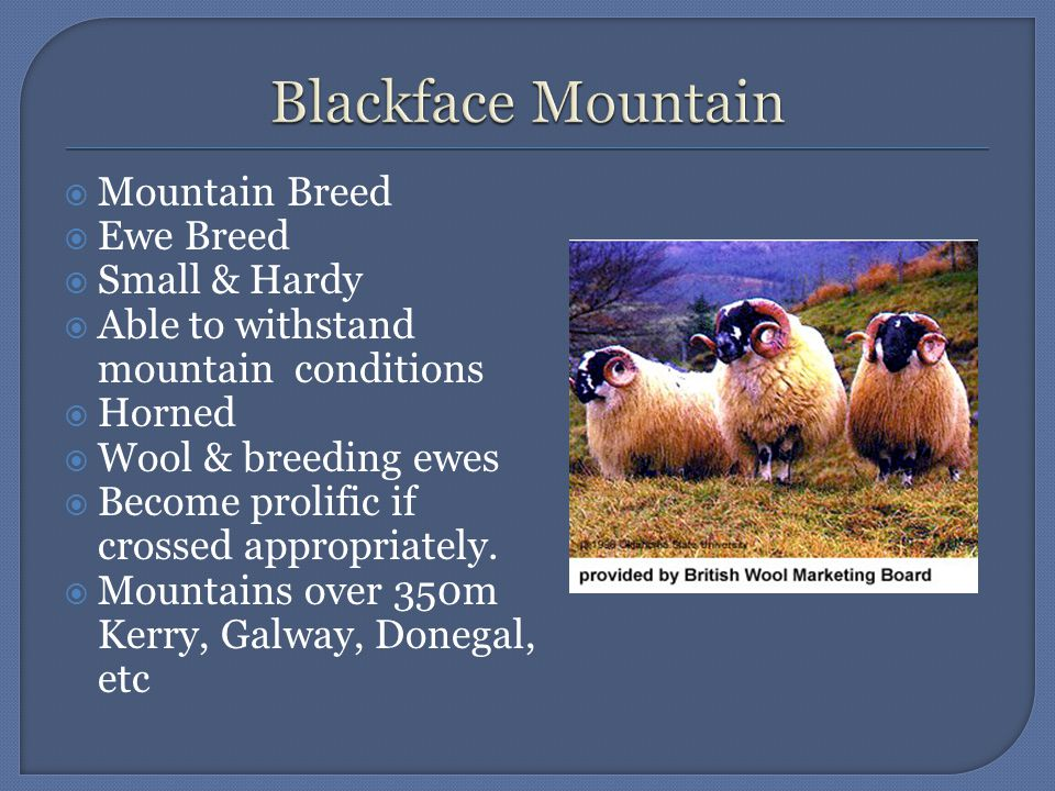  Mountain Breed  Ewe Breed  Small & Hardy  Able to withstand mountain conditions  Horned  Wool & breeding ewes  Become prolific if crossed appropriately.