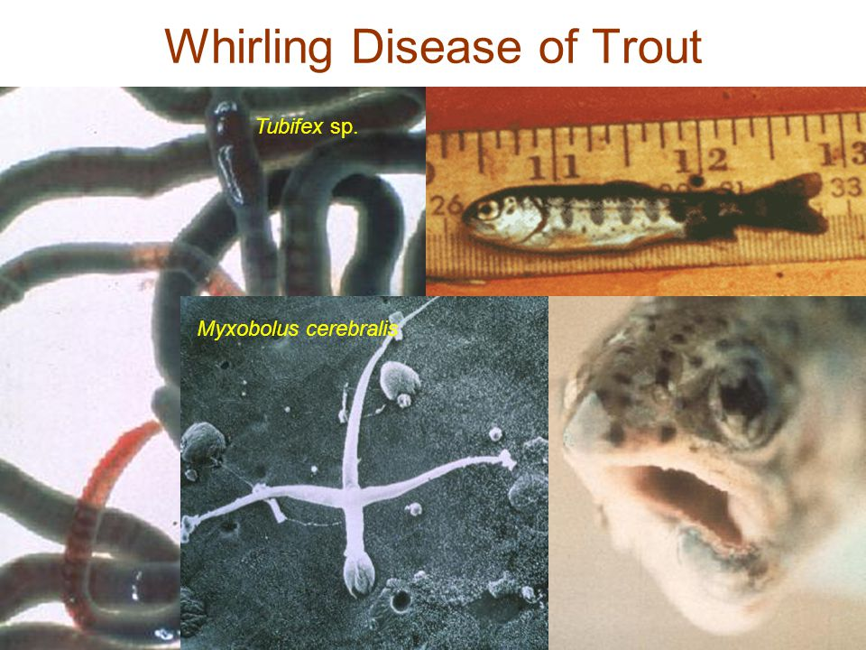 Whirling Disease of Trout Tubifex sp. Myxobolus cerebralis