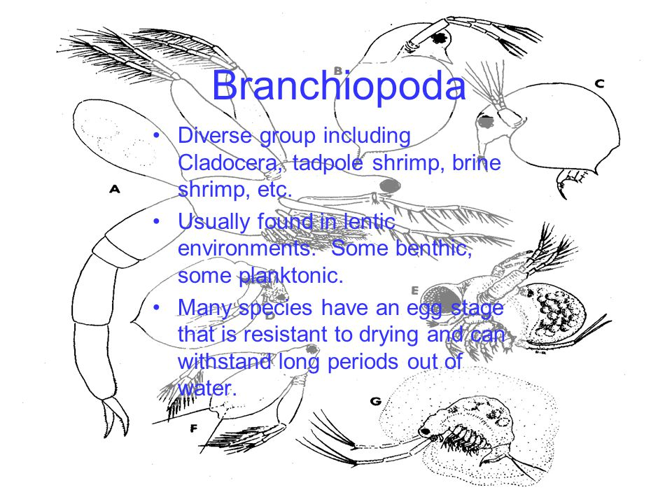Branchiopoda Diverse group including Cladocera, tadpole shrimp, brine shrimp, etc.