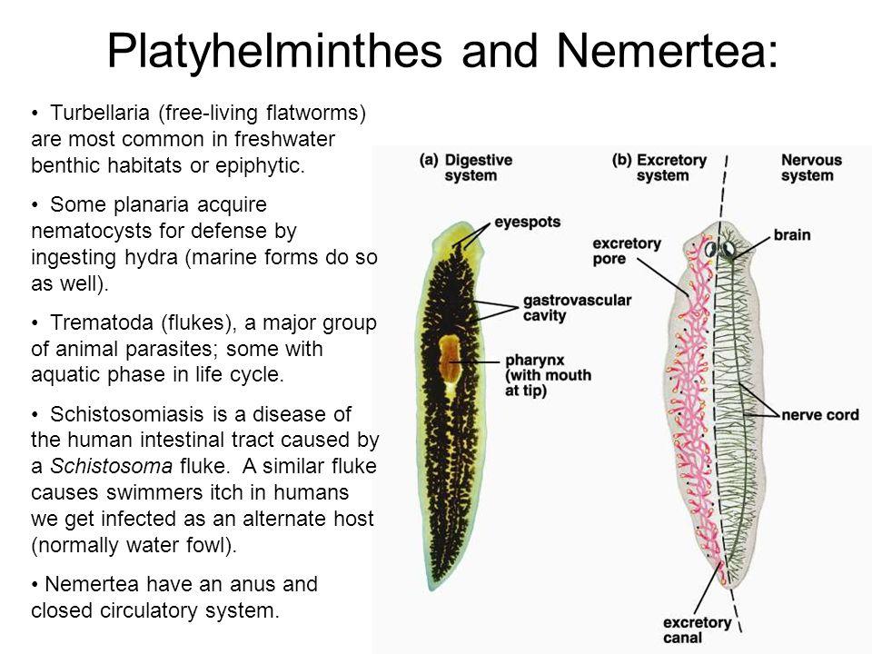Schistosoma life history: