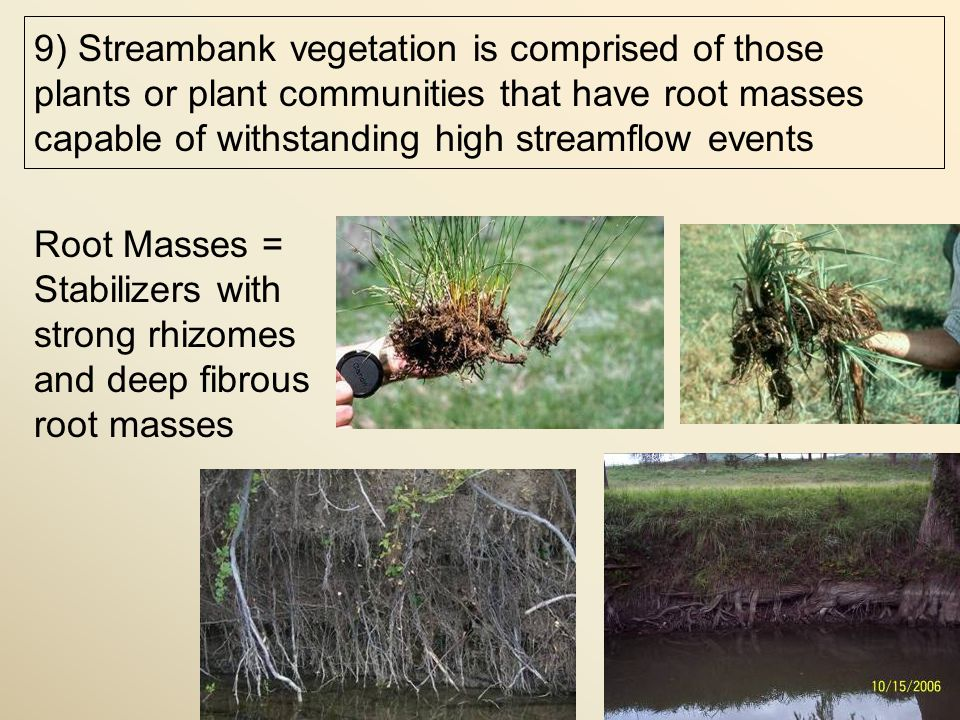 Root Masses = Stabilizers with strong rhizomes and deep fibrous root masses