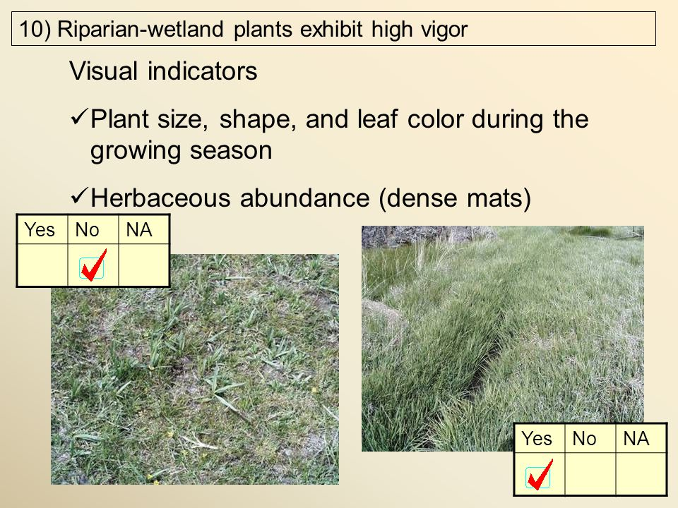 10) Riparian-wetland plants exhibit high vigor Visual indicators Plant size, shape, and leaf color during the growing season Herbaceous abundance (dense mats) YesNoNA YesNoNA