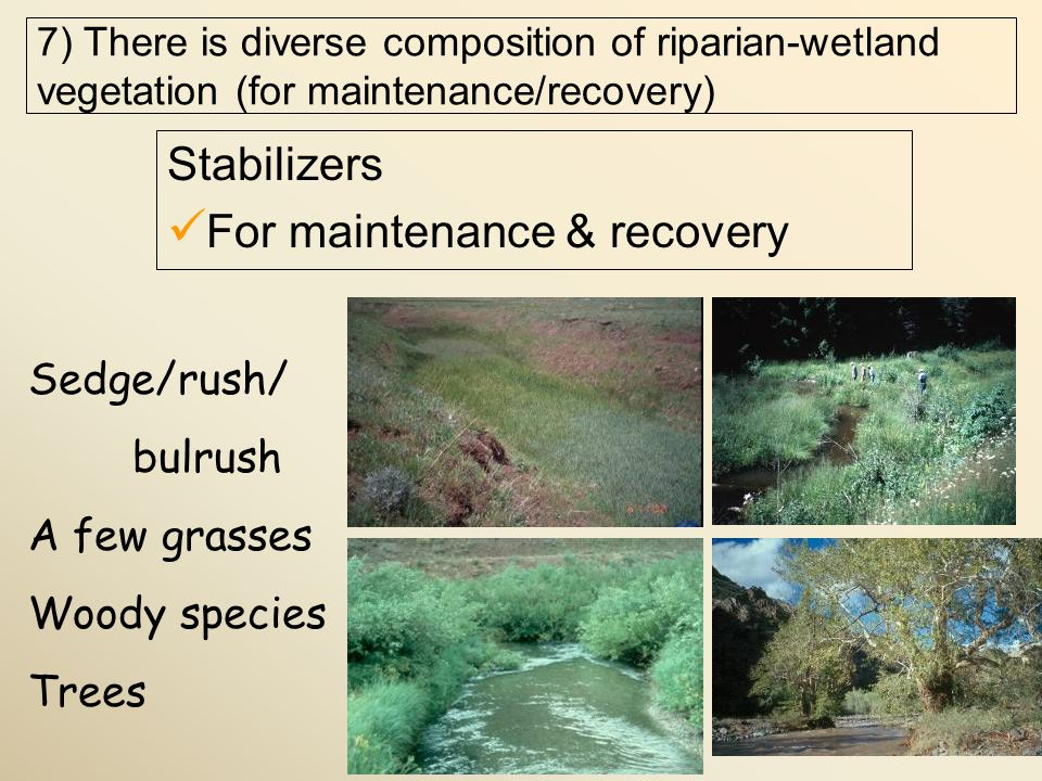 Stabilizers For maintenance & recovery Sedge/rush/ bulrush A few grasses Woody species Trees 7) There is diverse composition of riparian-wetland vegetation (for maintenance/recovery)