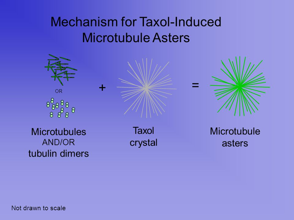 + = Taxol crystal Microtubule asters Mechanism for Taxol-Induced Microtubule Asters Not drawn to scale Microtubules AND/OR tubulin dimers OR