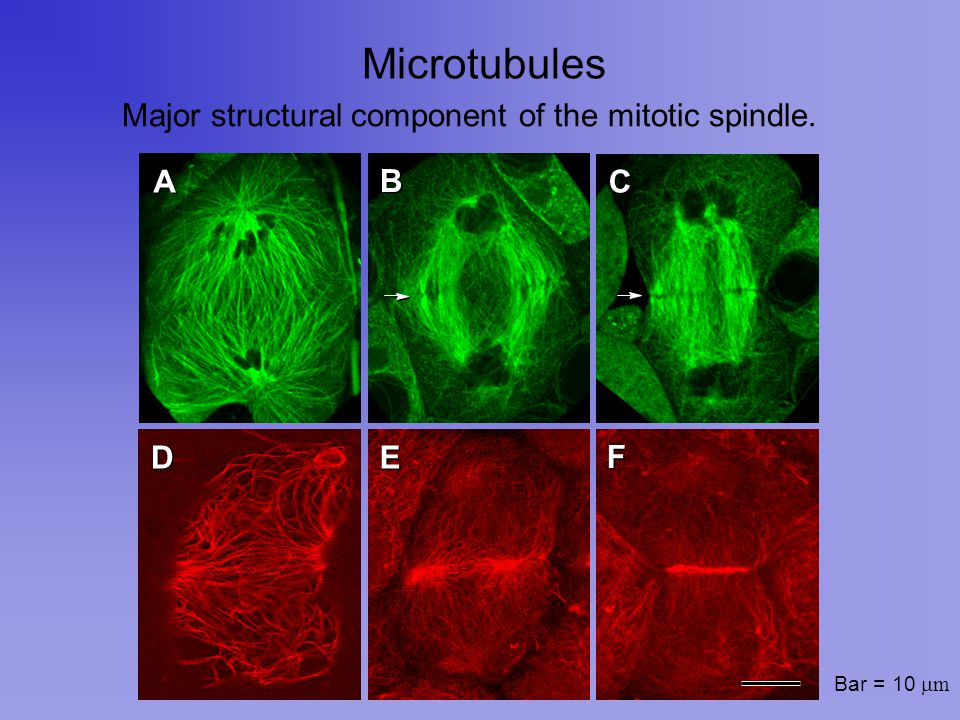 Microtubule Polymerization Microtubules are in equilibrium with a pool of tubulin subunits.