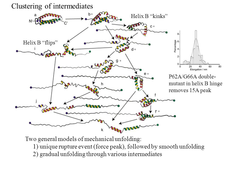 Two general models of mechanical unfolding: 1) unique rupture event (force peak), followed by smooth unfolding 2) gradual unfolding through various intermediates Helix B flips Helix B kinks P62A/G66A double- mutant in helix B hinge removes 15A peak Clustering of intermediates