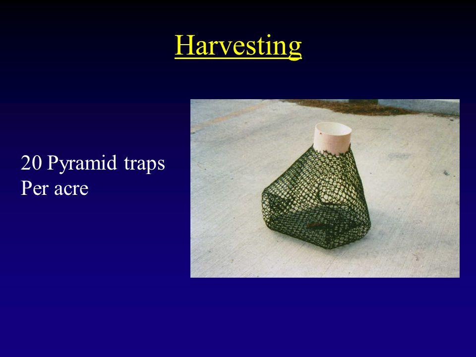 Harvesting 20 Pyramid traps Per acre