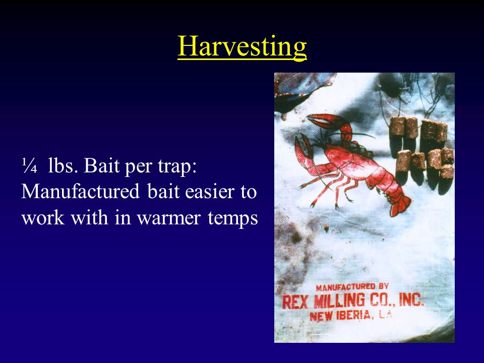 Harvesting ¼ lbs. Bait per trap: Manufactured bait easier to work with in warmer temps