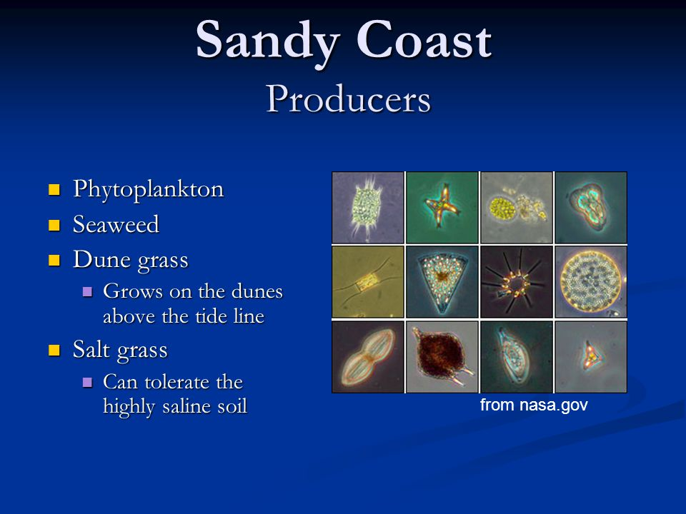 Sandy Coast Producers Phytoplankton Phytoplankton Seaweed Seaweed Dune grass Dune grass Grows on the dunes above the tide line Grows on the dunes above the tide line Salt grass Salt grass Can tolerate the highly saline soil Can tolerate the highly saline soil from nasa.gov