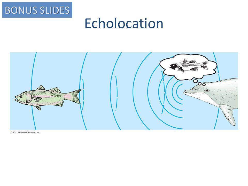 Echolocation BONUS SLIDES