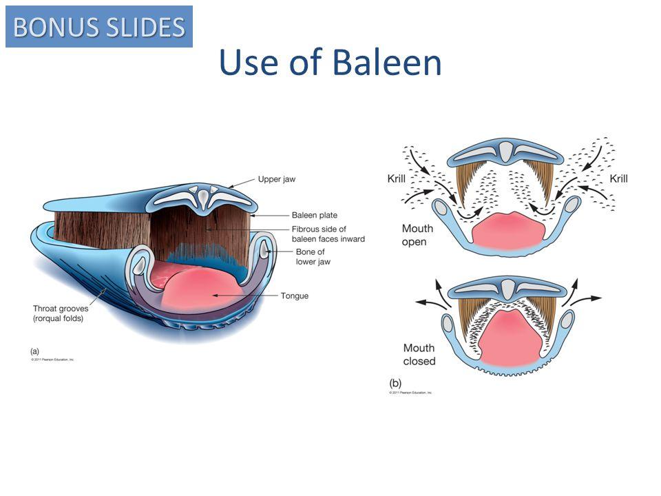 Use of Baleen BONUS SLIDES