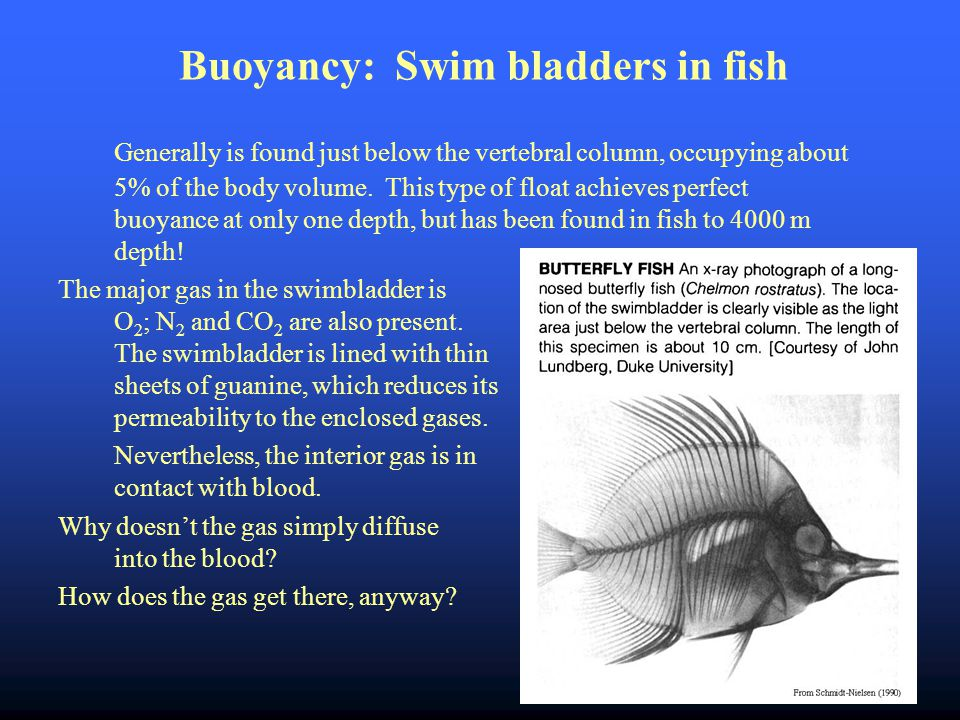 Buoyancy: Swim bladders in fish Generally is found just below the vertebral column, occupying about 5% of the body volume.
