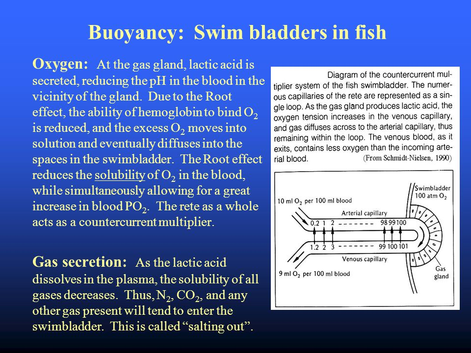 Buoyancy: Swim bladders in fish Oxygen: At the gas gland, lactic acid is secreted, reducing the pH in the blood in the vicinity of the gland.