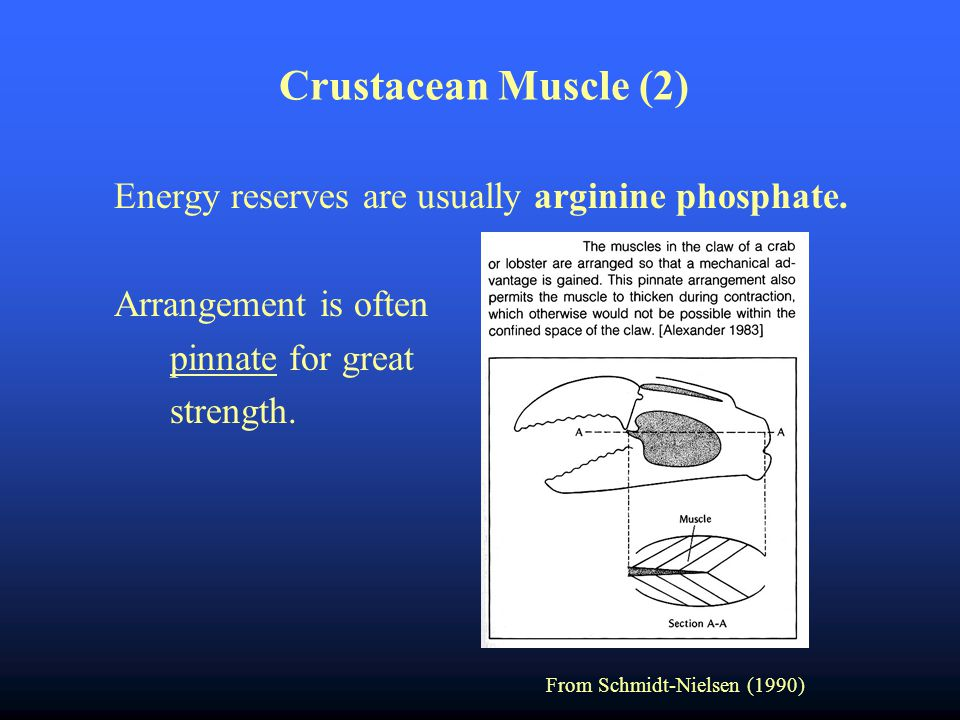 Crustacean Muscle (2) Energy reserves are usually arginine phosphate.