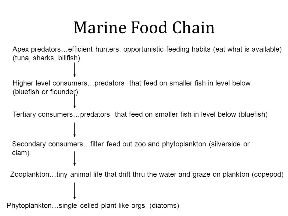 Marine Food Chain Phytoplankton…single celled plant like orgs (diatoms) Zooplankton…tiny animal life that drift thru the water and graze on plankton (copepod) Secondary consumers…filter feed out zoo and phytoplankton (silverside or clam) Tertiary consumers…predators that feed on smaller fish in level below (bluefish) Apex predators…efficient hunters, opportunistic feeding habits (eat what is available) (tuna, sharks, billfish) Higher level consumers…predators that feed on smaller fish in level below (bluefish or flounder)