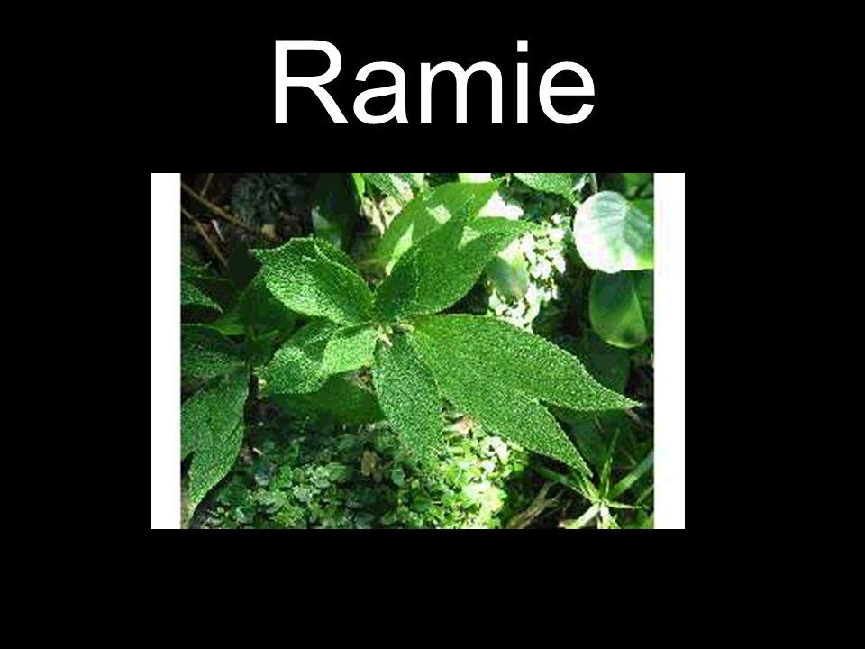 Ramie