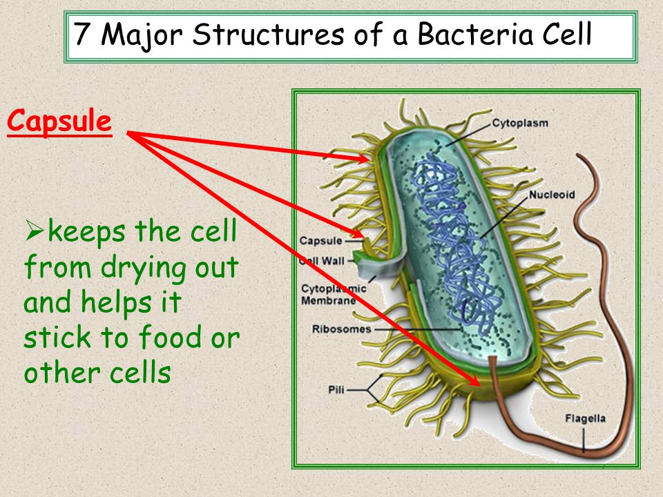 8 Cell wall 7 Major Structures of a Bacteria Cell  Thick outer covering that maintains the overall shape of the bacterial cell