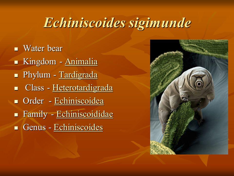 Echiniscoides sigimunde Water bear Water bear Kingdom - Animalia Kingdom - AnimaliaAnimalia Phylum - Tardigrada Phylum - TardigradaTardigrada Class - Heterotardigrada Class - HeterotardigradaHeterotardigrada Order - Echiniscoidea Order - EchiniscoideaEchiniscoidea Family - Echiniscoididae Family - EchiniscoididaeEchiniscoididae Genus - Echiniscoides Genus - EchiniscoidesEchiniscoides