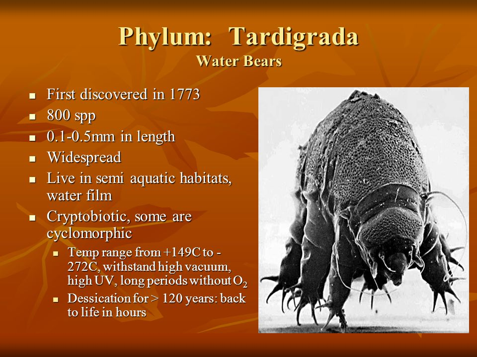 Phylum: Tardigrada Water Bears First discovered in 1773 First discovered in 1773 800 spp 800 spp 0.1-0.5mm in length 0.1-0.5mm in length Widespread Widespread Live in semi aquatic habitats, water film Live in semi aquatic habitats, water film Cryptobiotic, some are cyclomorphic Cryptobiotic, some are cyclomorphic Temp range from +149C to - 272C, withstand high vacuum, high UV, long periods without O 2 Temp range from +149C to - 272C, withstand high vacuum, high UV, long periods without O 2 Dessication for > 120 years: back to life in hours Dessication for > 120 years: back to life in hours