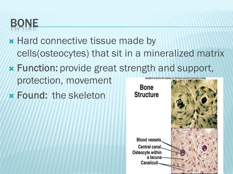  Hard connective tissue made by cells(osteocytes) that sit in a mineralized matrix  Function: provide great strength and support, protection, movement  Found: the skeleton
