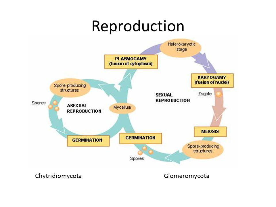 ChytridiomycotaGlomeromycota Reproduction