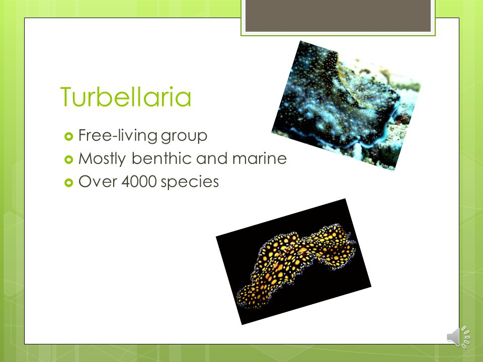 Turbellaria  Free-living group  Mostly benthic and marine  Over 4000 species
