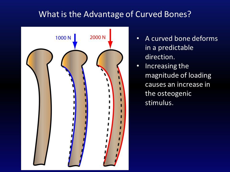 What is the Advantage of Curved Bones. A curved bone deforms in a predictable direction.