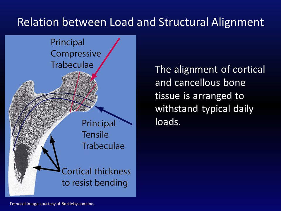 Relation between Load and Structural Alignment Femoral image courtesy of Bartleby.com Inc.