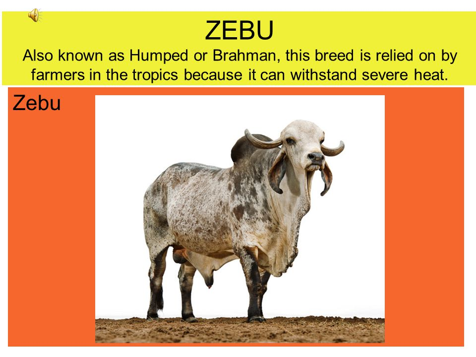 ZEBU Also known as Humped or Brahman, this breed is relied on by farmers in the tropics because it can withstand severe heat.