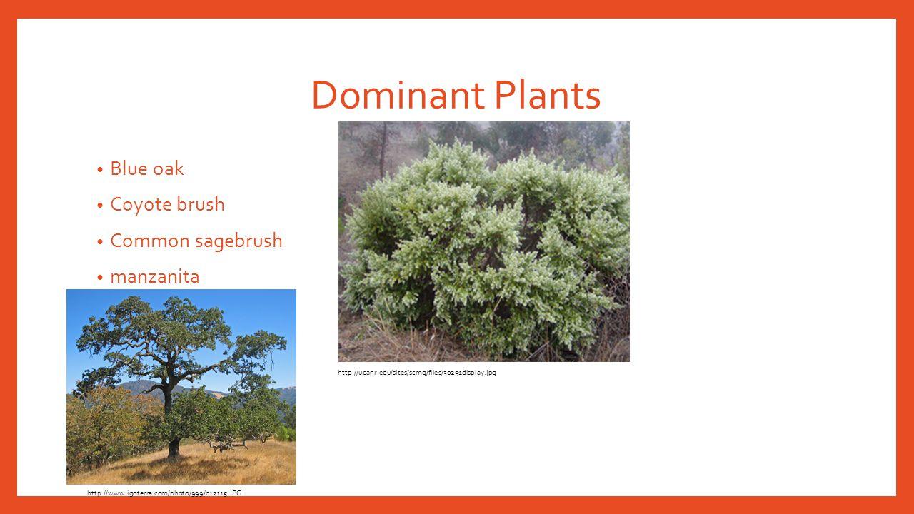 Dominant Plants Blue oak Coyote brush Common sagebrush manzanita http://www.igoterra.com/photo/999/012115.JPG http://ucanr.edu/sites/scmg/files/30291d