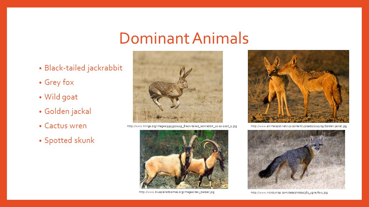 Dominant Animals Black-tailed jackrabbit Grey fox Wild goat Golden jackal Cactus wren Spotted skunk http://www.tringa.org/images/9913500129_Black-tail
