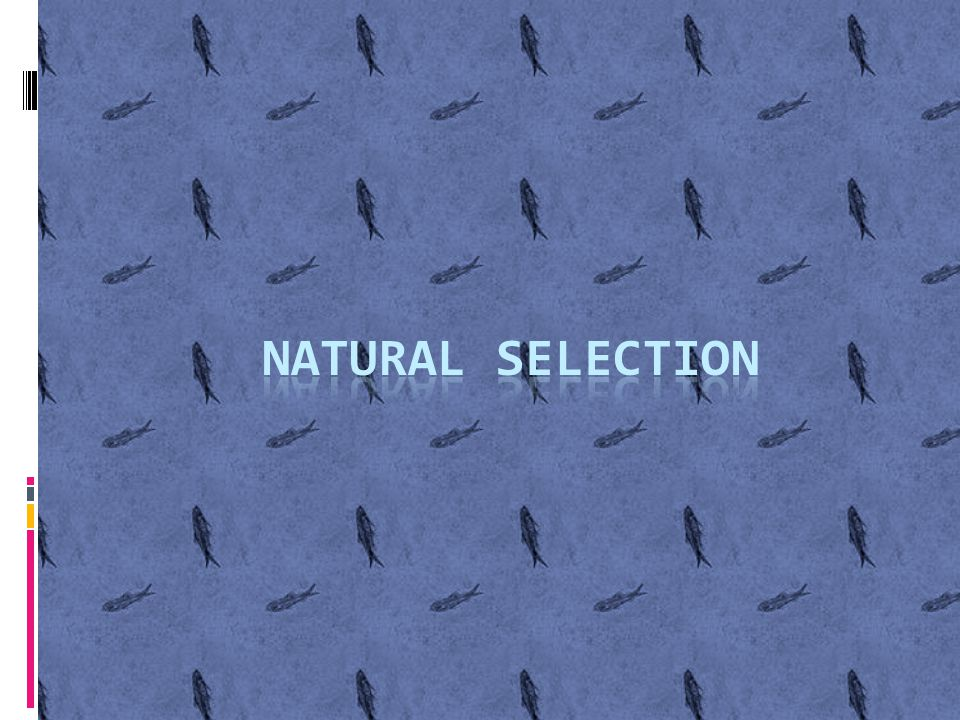 Natural Selection…………  In a nutshell, organisms with favorable phenotypes that allow for adaptation in a particular environment will survive, reproduce, pass their alleles along to their off spring  Environment DOES NOT NECESSARILY MEAN THE WEATHER!!!.