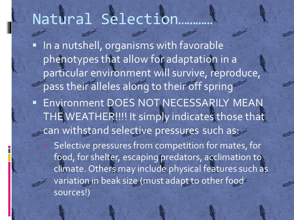 Natural Selection…………  In a nutshell, organisms with favorable phenotypes that allow for adaptation in a particular environment will survive, reproduce, pass their alleles along to their off spring  Environment DOES NOT NECESSARILY MEAN THE WEATHER!!!.