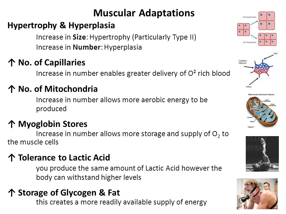 Hypertrophy & Hyperplasia Increase in Size: Hypertrophy (Particularly Type II) Increase in Number: Hyperplasia ↑ No.
