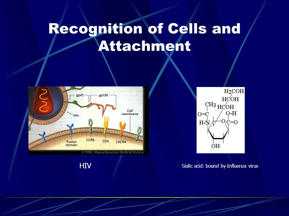 Recognition of Cells and Attachment Sialic acid: bound by Influenza virus HIV