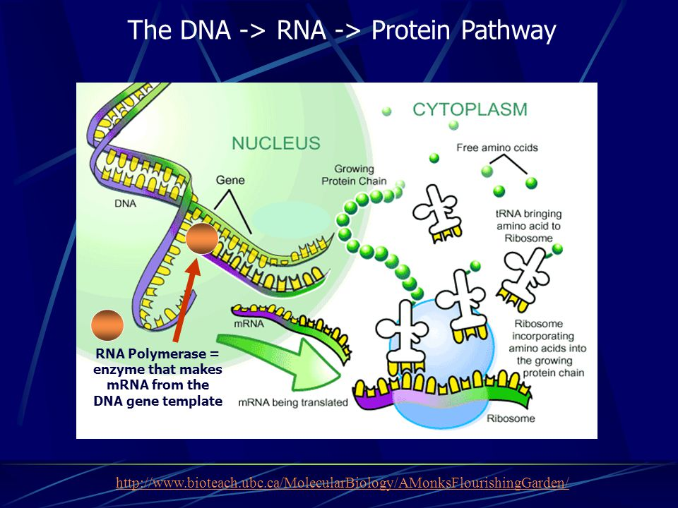 http://www.bioteach.ubc.ca/MolecularBiology/AMonksFlourishingGarden/ The DNA -> RNA -> Protein Pathway RNA Polymerase = enzyme that makes mRNA from th