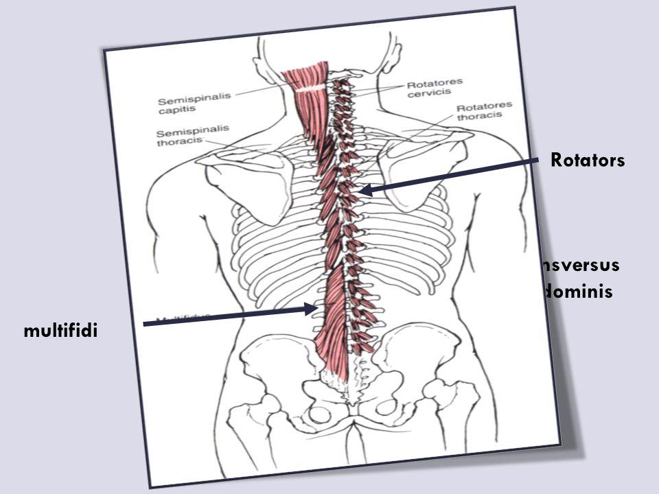 multifidi Rotators Transversus abdominis
