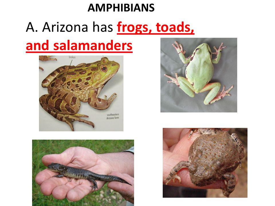 AMPHIBIANS A. Arizona has frogs, toads, and salamanders