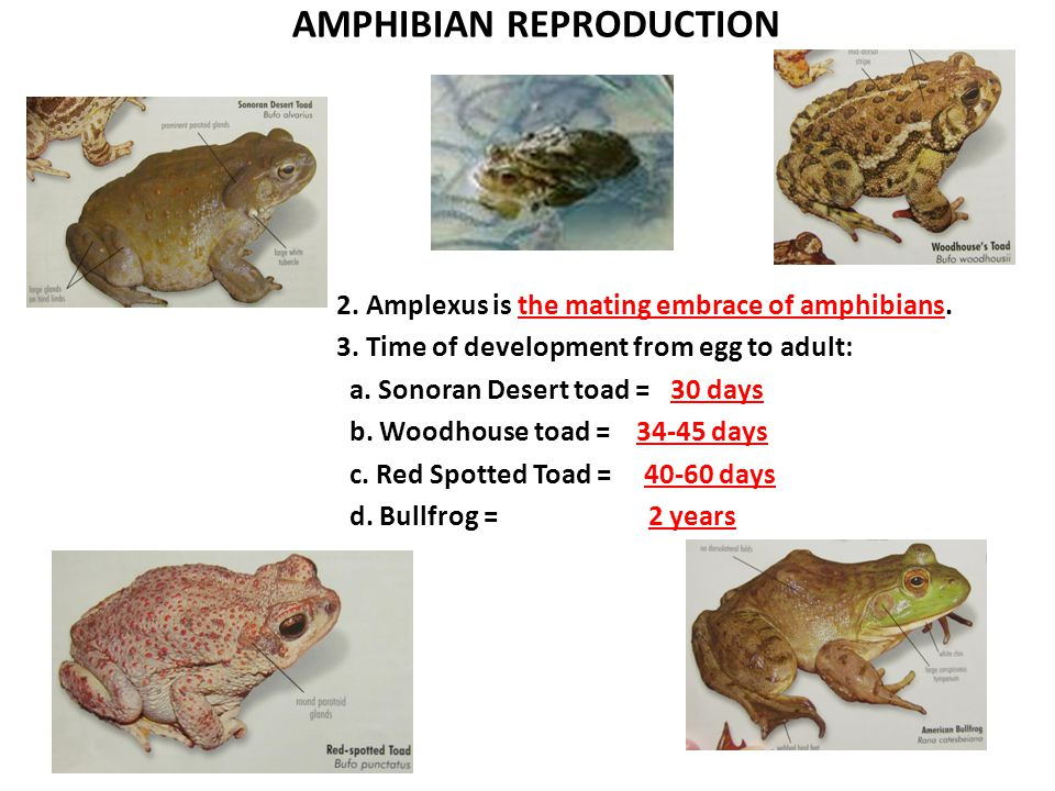 AMPHIBIAN REPRODUCTION 2. Amplexus is the mating embrace of amphibians.