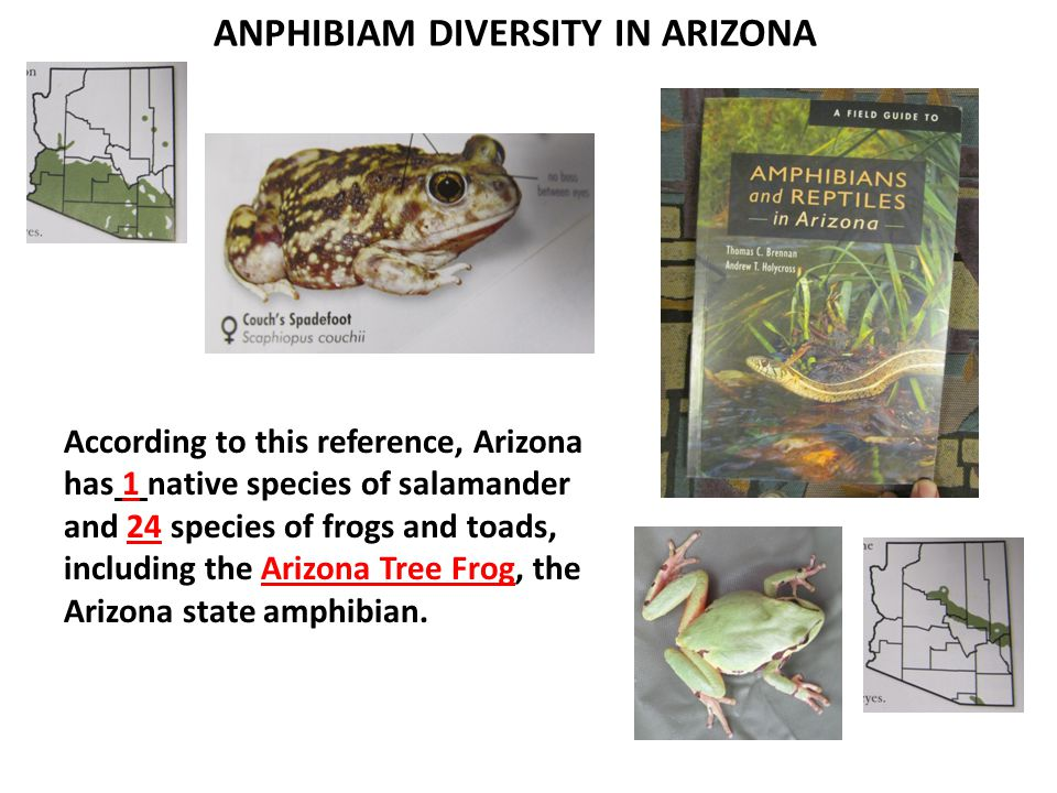 ANPHIBIAM DIVERSITY IN ARIZONA According to this reference, Arizona has 1 native species of salamander and 24 species of frogs and toads, including the Arizona Tree Frog, the Arizona state amphibian.