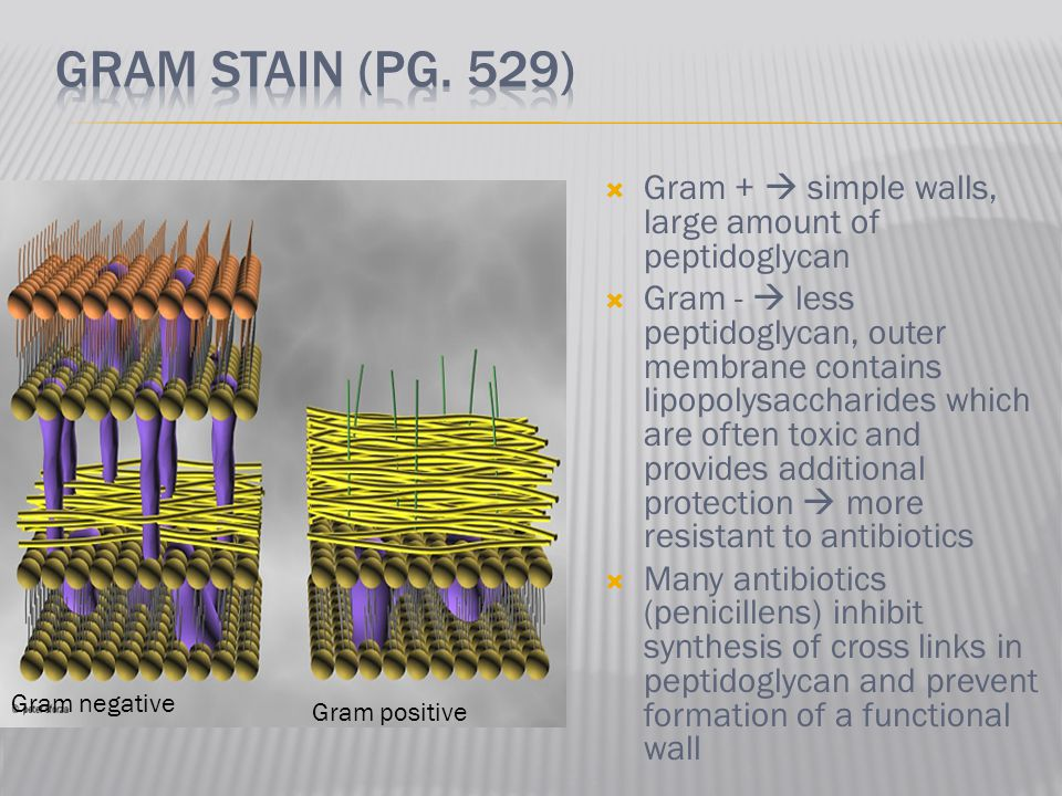  Gram +  simple walls, large amount of peptidoglycan  Gram -  less peptidoglycan, outer membrane contains lipopolysaccharides which are often toxi