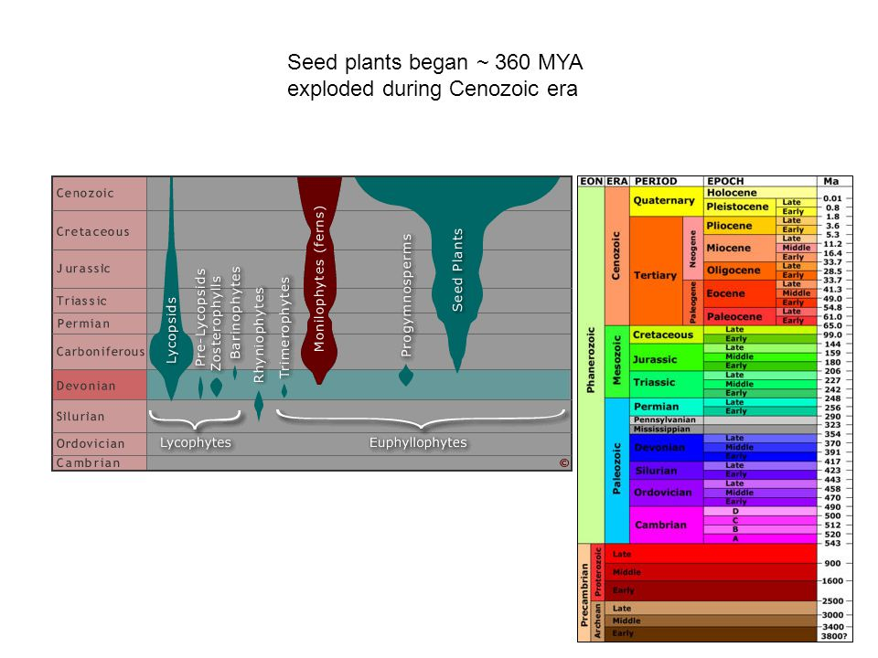 Seed plants began ~ 360 MYA exploded during Cenozoic era