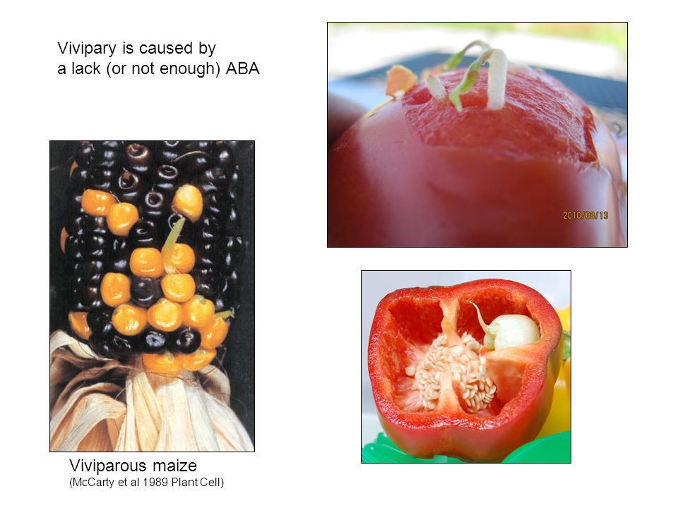 Viviparous maize (McCarty et al 1989 Plant Cell) Vivipary is caused by a lack (or not enough) ABA