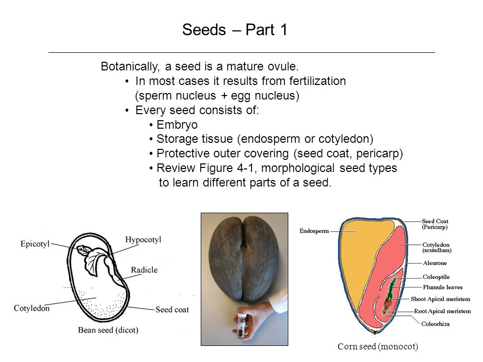 Seeds – Part 1 Botanically, a seed is a mature ovule.