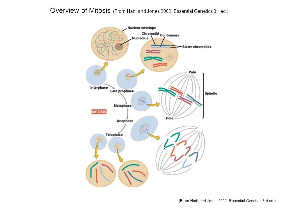 Overview of Mitosis (From Hartl and Jones 2002, Essential Genetics 3 rd ed.) (From Hartl and Jones 2002, Essential Genetics 3rd ed.)
