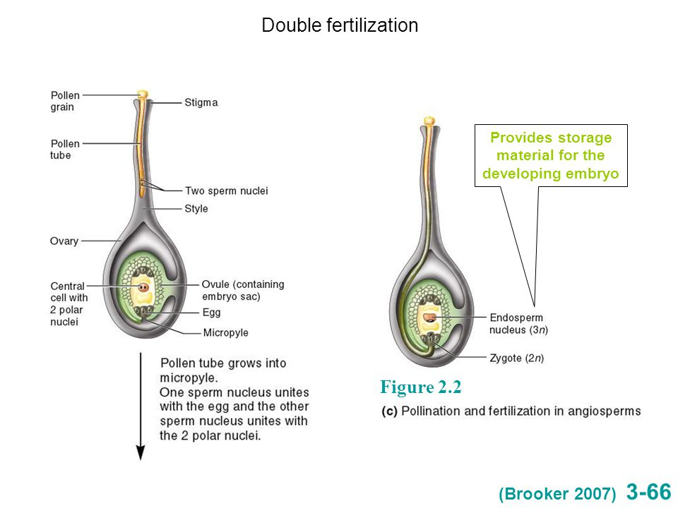 3-66 Figure 2.2 Provides storage material for the developing embryo Double fertilization (Brooker 2007)