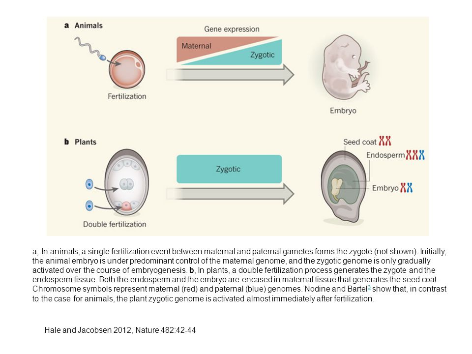 a, In animals, a single fertilization event between maternal and paternal gametes forms the zygote (not shown).
