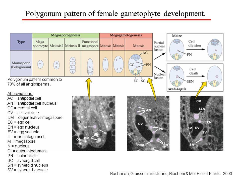 Polygonum pattern of female gametophyte development.