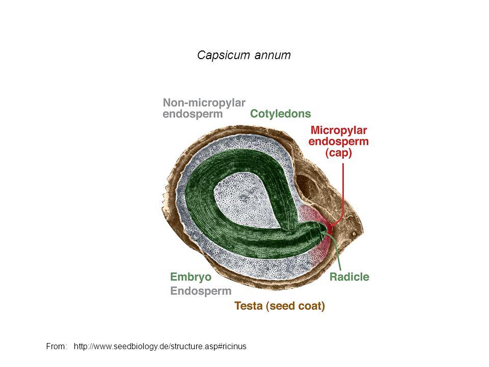 Capsicum annum From: http://www.seedbiology.de/structure.asp#ricinus