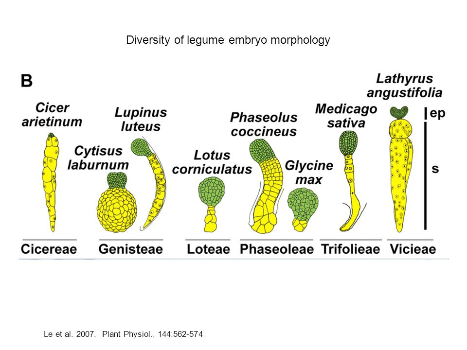 Diversity of legume embryo morphology Le et al. 2007. Plant Physiol., 144:562-574